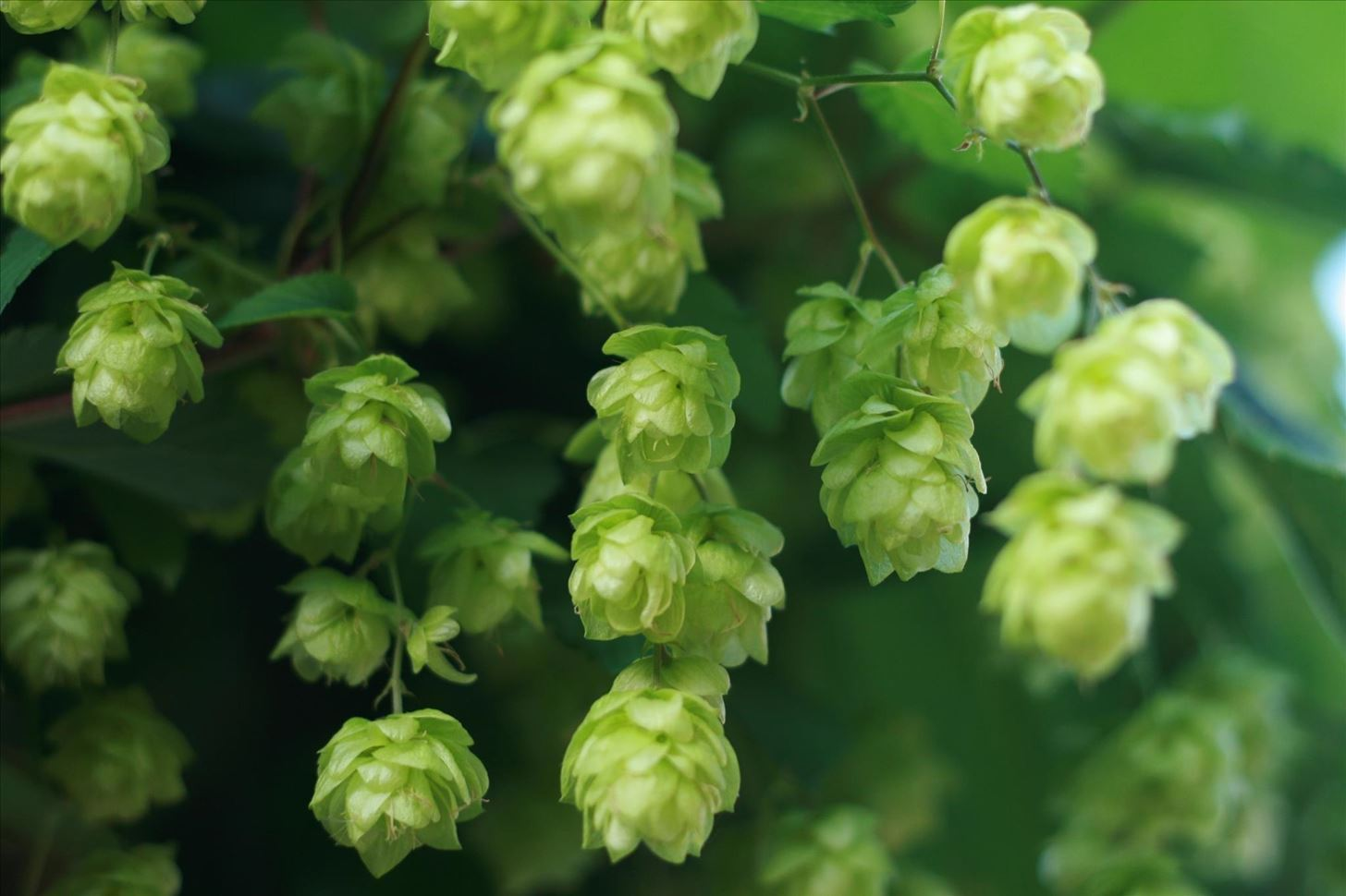 Weird Ingredient Wednesday: Hops—They're Not Just for Beer Anymore