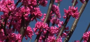 Select the best redbud tree for your yard
