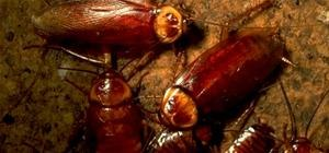 Remote Control Roaches Detect Nukes