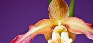 Vibrant Color Photography Challenge: Orchid Showstopper