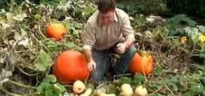 Know when to harvest pumpkins and squashes