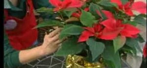Dress up a poinsettia plant with gold foil for Christmas