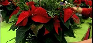 Dress up your poinsettia with golden fabric wrap