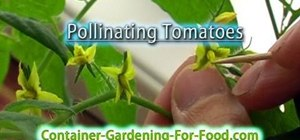 Pollinate the tomatoes in your indoor garden