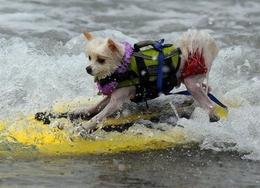 Surf Dog Contest Photos