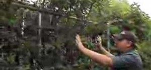 Prune a high-density fruit tree