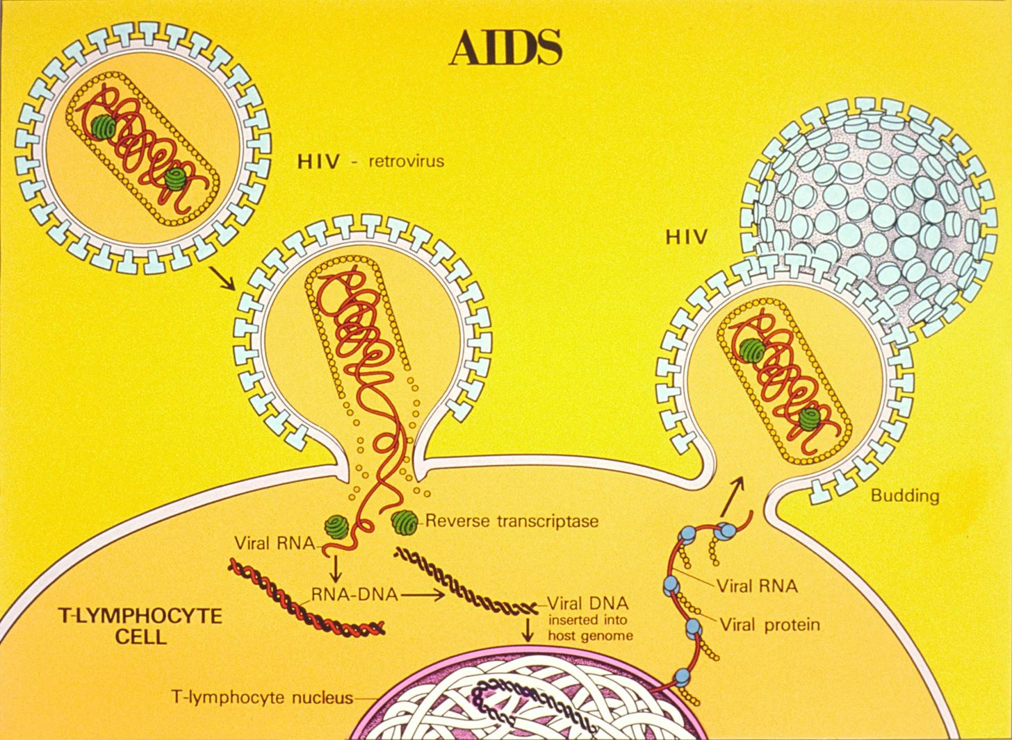 Latent HIV Can Hide, but Can't Escape Detection with New Test