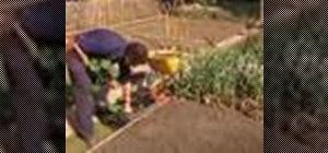 Plant courgettes