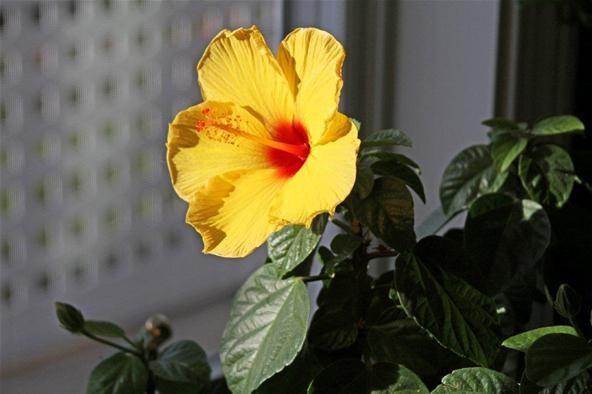 Hybiscus Blossom
