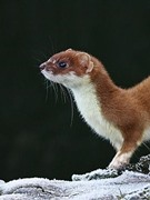 Weasel Kid