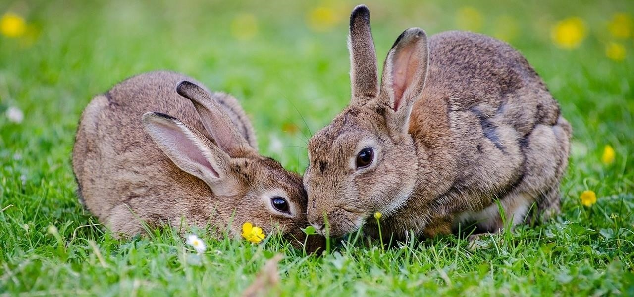 Environmental Groups in Australia Release Virus to Control Rabbit Population