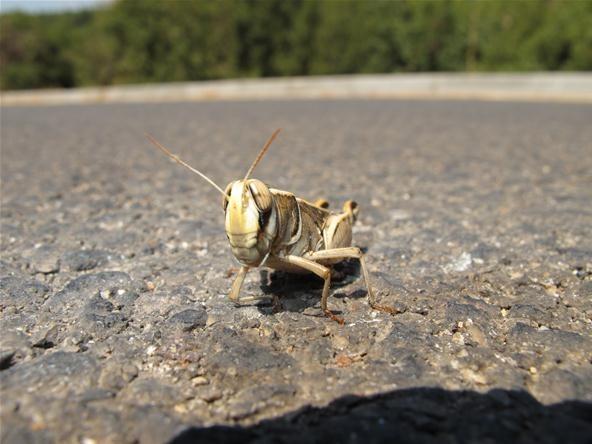 Bokeh Photography Challenge: Israeli Grasshopper at Moshav Amirim