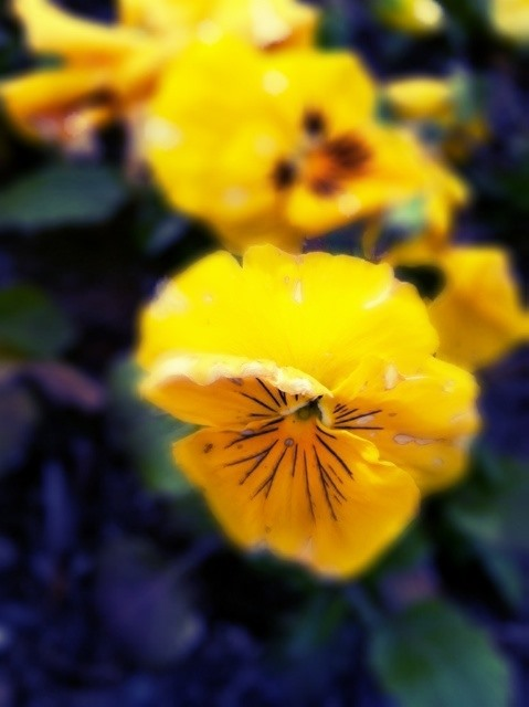 Bokeh Photography Challenge: Spring Pansy