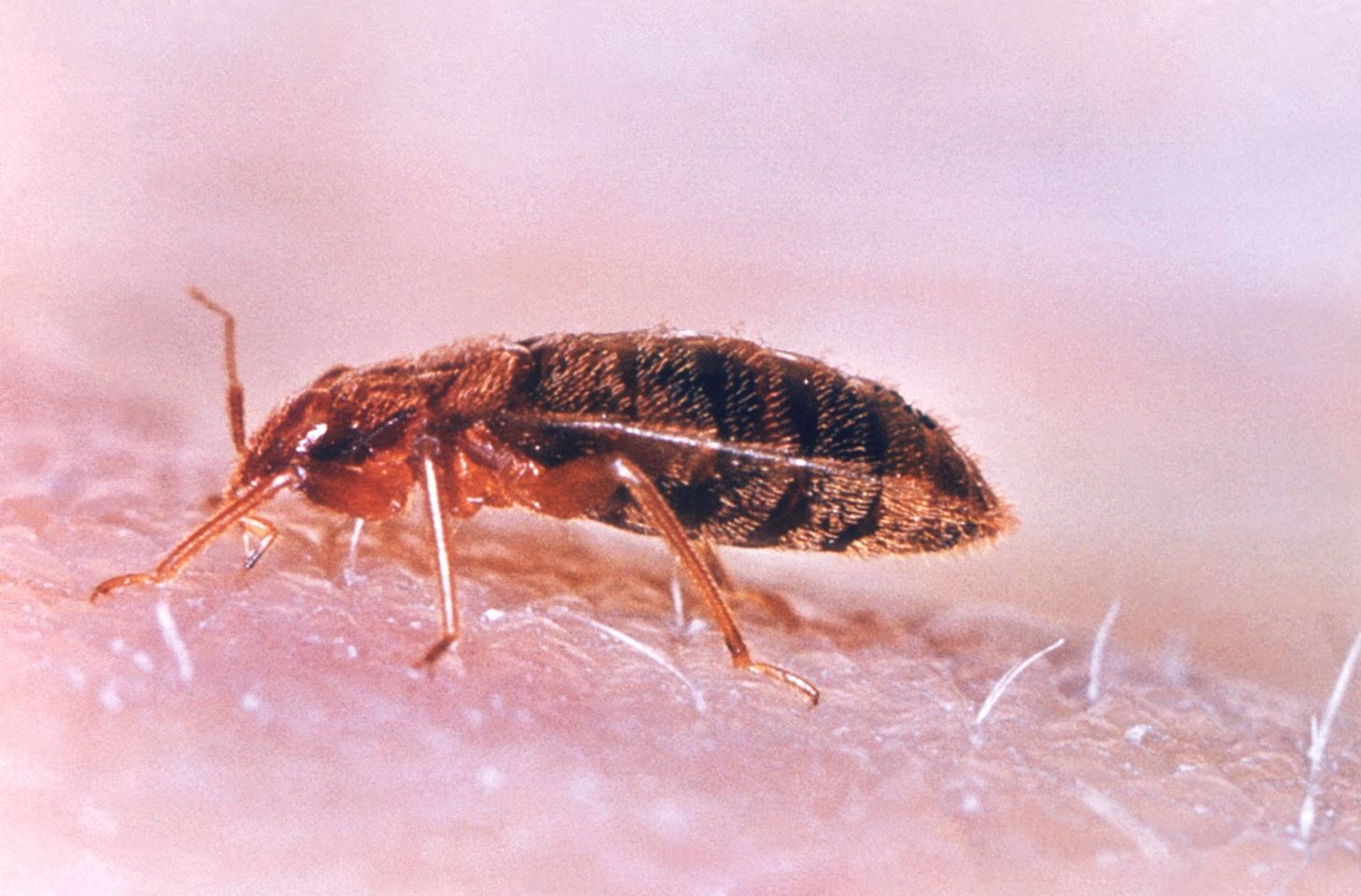 Bed Bugs Are Becoming Resistant to All of Our Insecticides—This Fungus Might Help