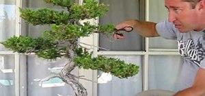 Prune a Juniper bonsai