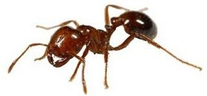 Get rid of an ant problem as a homeowner