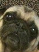 Mucho Pug