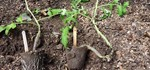 How to Plant and Tie Tomatoes