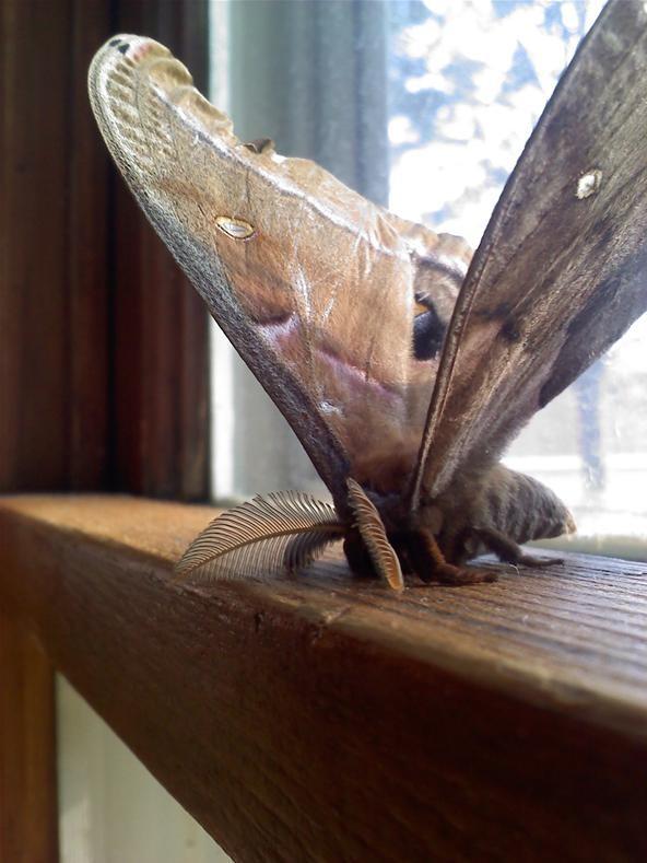 Camera Phone Photo Challenge: Polyphemus Moth